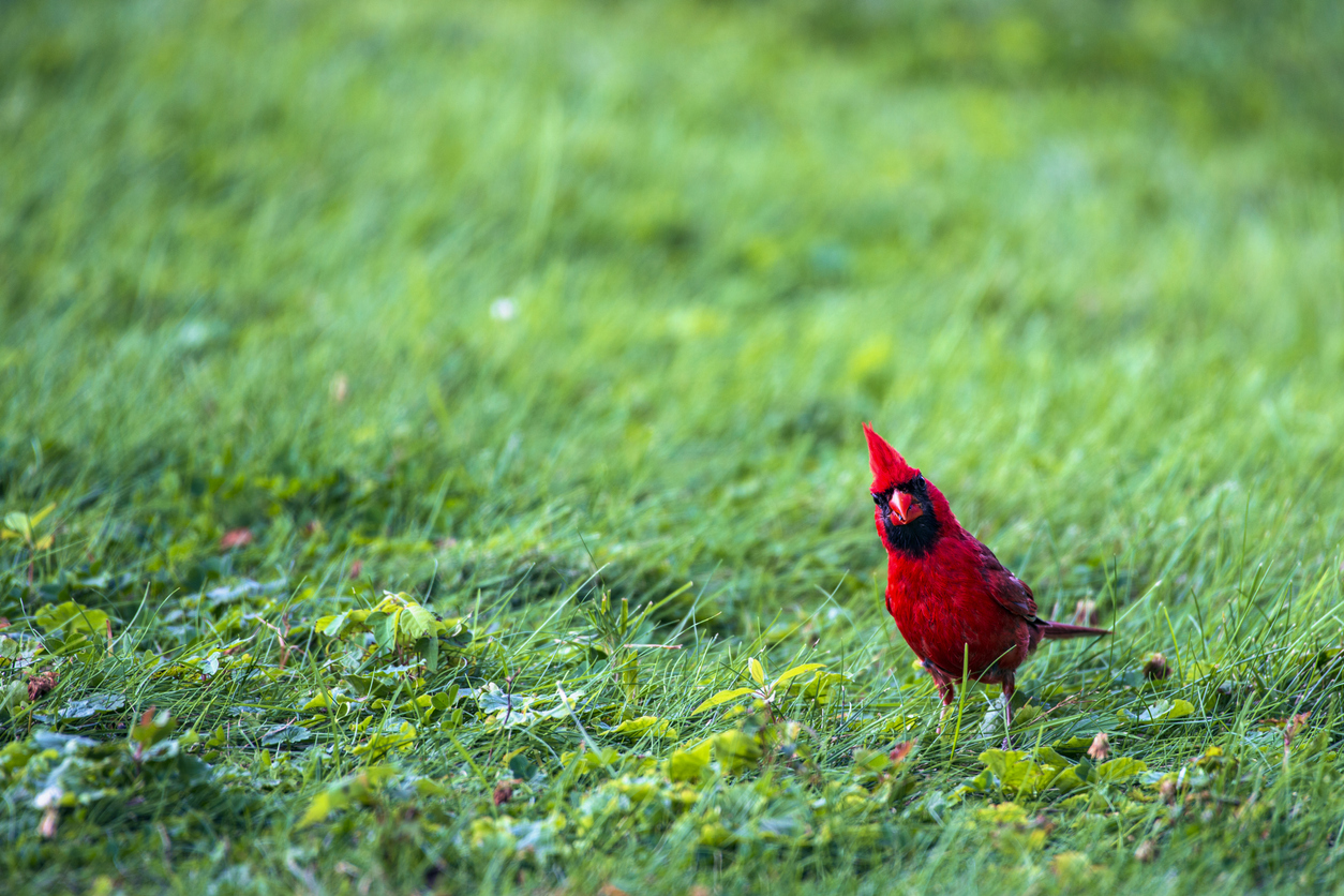A red bird's thesis
